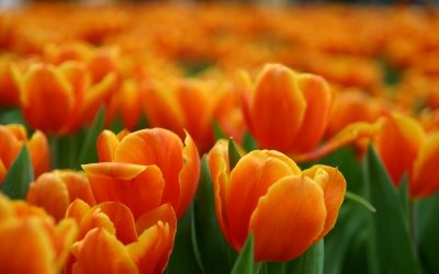 olanda tulipani spdr etfs